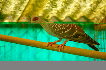 A colorful pigeon (Columba Guinea) stands on a branch