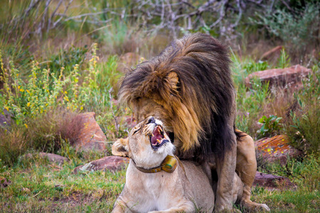 Rare sighting of a lion and lioness mating photo