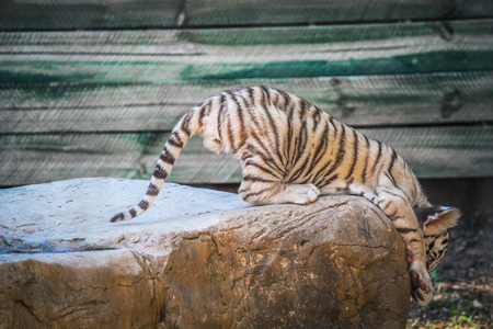 clicked: A playful white tiger cub clicked on a ranch