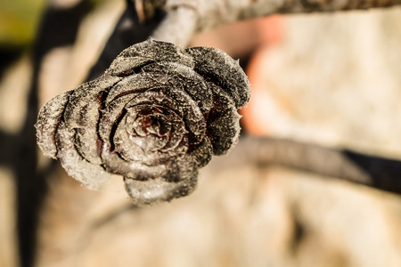 clicked: A picture of the desert rose clicked in Old Town, San Diego