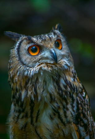 The Indian eagle-owl, also called the rock eagle-owl or Bengal eagle-owl (Bubo bengalensis), is a species of large horned owl found in the Indian Subcontinent. They were earlier treated as a subspecies of the Eurasian eagle-owl. They are found in hilly an