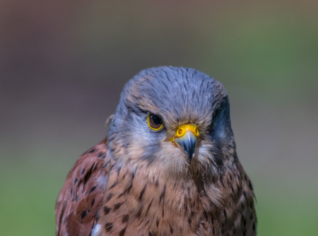 The name kestrel (from French crécerelle, derivative from crécelle, i.e. ratchet) is given to several different members of the falcon genus, Falco. Kestrels are most easily distinguished by their typical hunting behaviour which is to hover at a height o