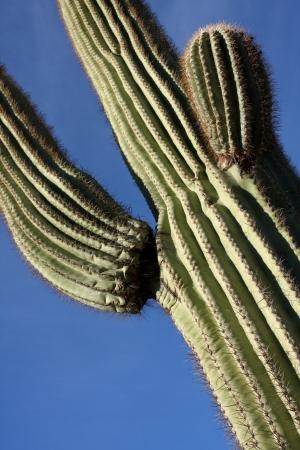 plantas del desierto: Saguaro Cactus Close Up con espacio para copiar Foto de archivo