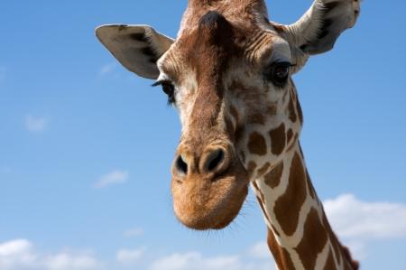 Close up of a Curious Giraffe Reklamní fotografie