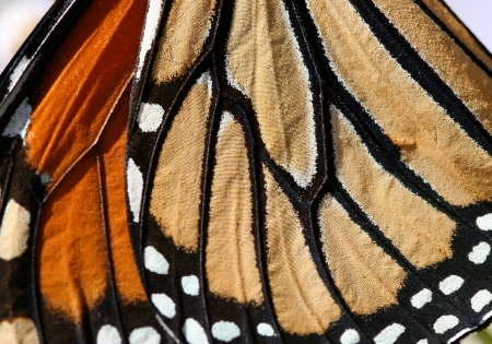 monarch butterfly: Macro close up of an Monarch Butterfly Wing