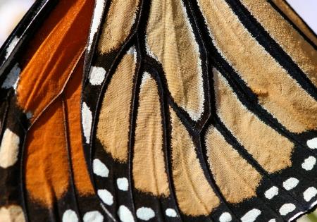 Macro close-up van een Monarch Butterfly Wing