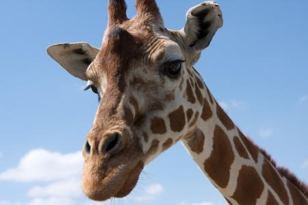 Close up of a Curious Giraffe Banco de Imagens