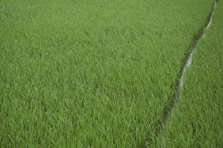 Rice farm photo