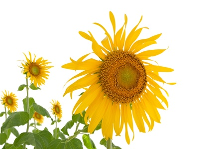 Yellow sun flower with white background
