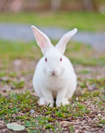 conejo: Conejo blanco en la granja Foto de archivo