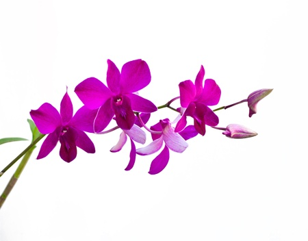 Beauty of Thai orchid flower