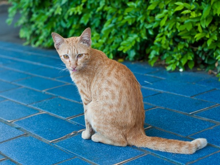 Closeup of asian cat in Thailand photo