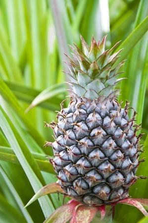 junge Ananas auf dem Gebiet von Ost-Thailand