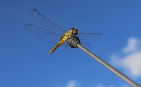 antenna dragonfly: Dragonfly on the Antenna in sunny day
