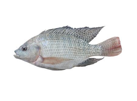 cichlidae: Mango fish isolate on with background