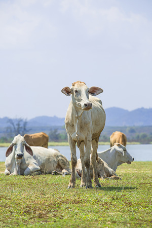 Cow in the farm with lake and mountain background in summer season , Thailand Stock Photo