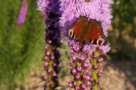Background butterfly peacock eye on the blooming Liatris spicata Stock Photo