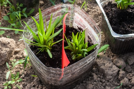seedlings of flowers in a plastic pot before the transfer. Photo format horizontal Stock Photo