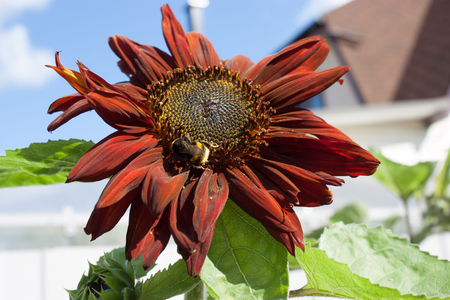 decorative brown sunflower with green leaves against the sky.
