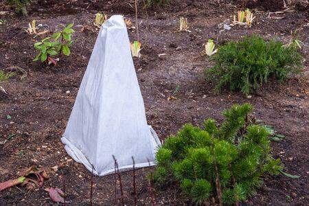 Los árboles de plántulas en el jardín están cubiertos con un paño protector contra las heladas.