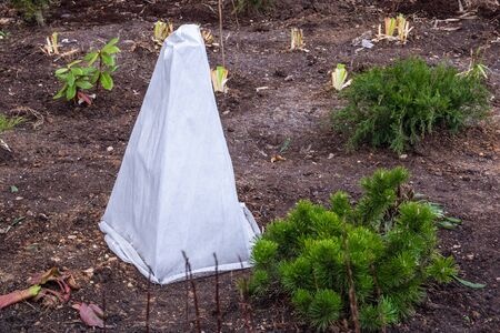 Seedlings trees in the garden are covered with a protective cloth from frost.