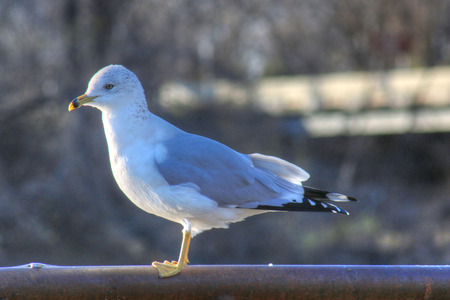 oklahoma: Gull at Grand Lake in Oklahoma