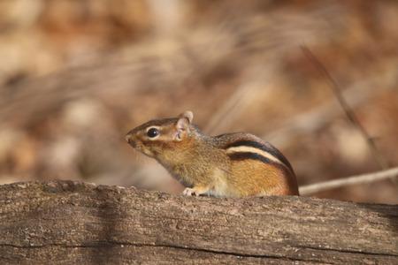 missouri wildlife: Chipmunk at Springfield Conservation Center in Springfield, Missouri
