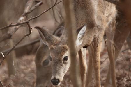 missouri wildlife: White Tailed Deer at Springfield Conservation Center in Springfield, Missouri