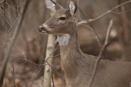 white tailed: White Tailed Deer at Springfield Conservation Center in Springfield, Missouri