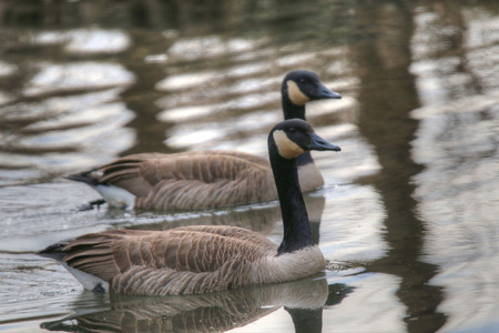 canadian geese: Canadian Geese at Springfield Conservation Center in Springfield, Missouri Stock Photo