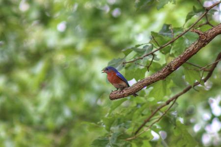 eastern bluebird: Eastern Bluebird in backyard