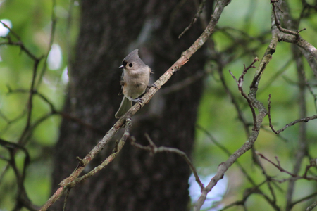 Tufted Titmouse in backyard