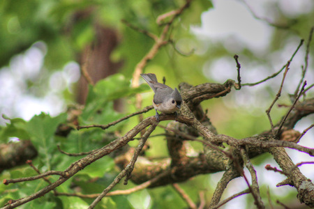tufted: Tufted Titmouse in backyard