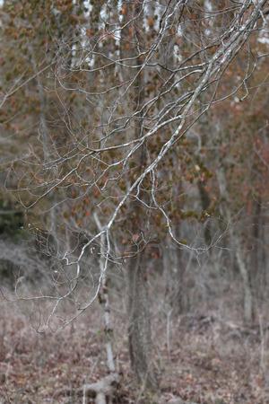 missouri: Branches of tree at Walter Woods in Joplin, Missouri