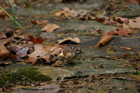chipmunk: Ardilla en el patio trasero Foto de archivo