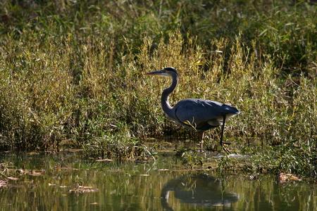 missouri wildlife: Great Blue Heron at Springfield Conservation Center in Springfield, Missouri