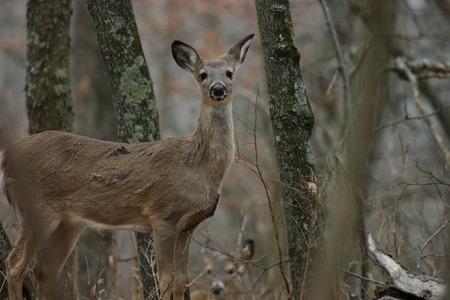 missouri wildlife: White-tailed deer at Springfield Conservation Center in Springfield, Missouri Stock Photo