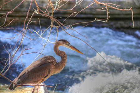 bella: Great Blue Heron at Tanyard Creek Park in Bella Vista, Arkansas Stock Photo