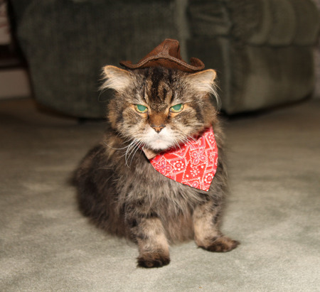 maine coon: Maine Coon in cowboy costume Stock Photo