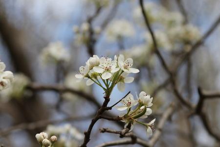 missouri: Flowering trees in Joplin, Missouri Stock Photo