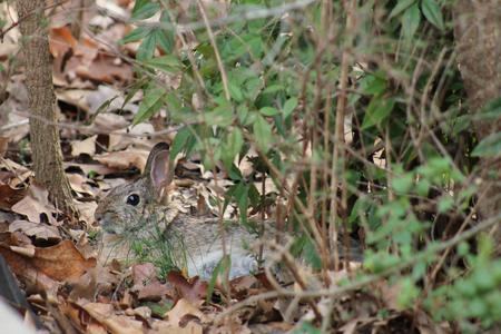resting: Rabbit resting in leaves