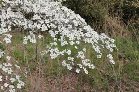 den: Flowering dogwoods at Devils Den State Park in Arkansas