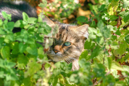 Maine Coon hiding behind catnip Stock Photo