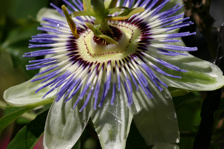 passion flower: Passion flower in close-up