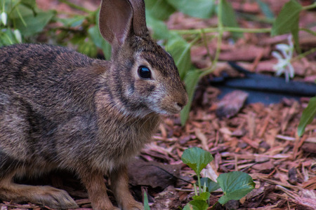 lapin: Cottontail rabbit crouching down in grass