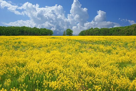 Flowering yellow field recedes into the distance to the blue sky with beautiful clouds. Stock Photo