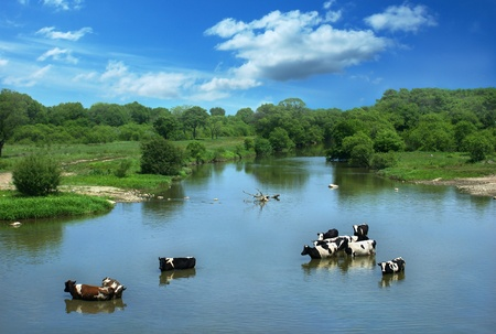 Landscape with cows, standing in the river.