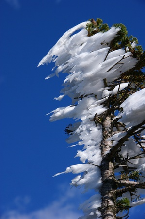 inconstant: Rain froze at the top of the tree  in the direction of the wind