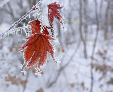 Red maple leaf in the needles of frost on the background of the winter woods.