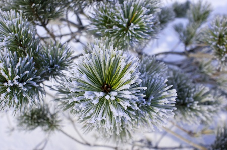 Lush pine branch with long needles in the frost